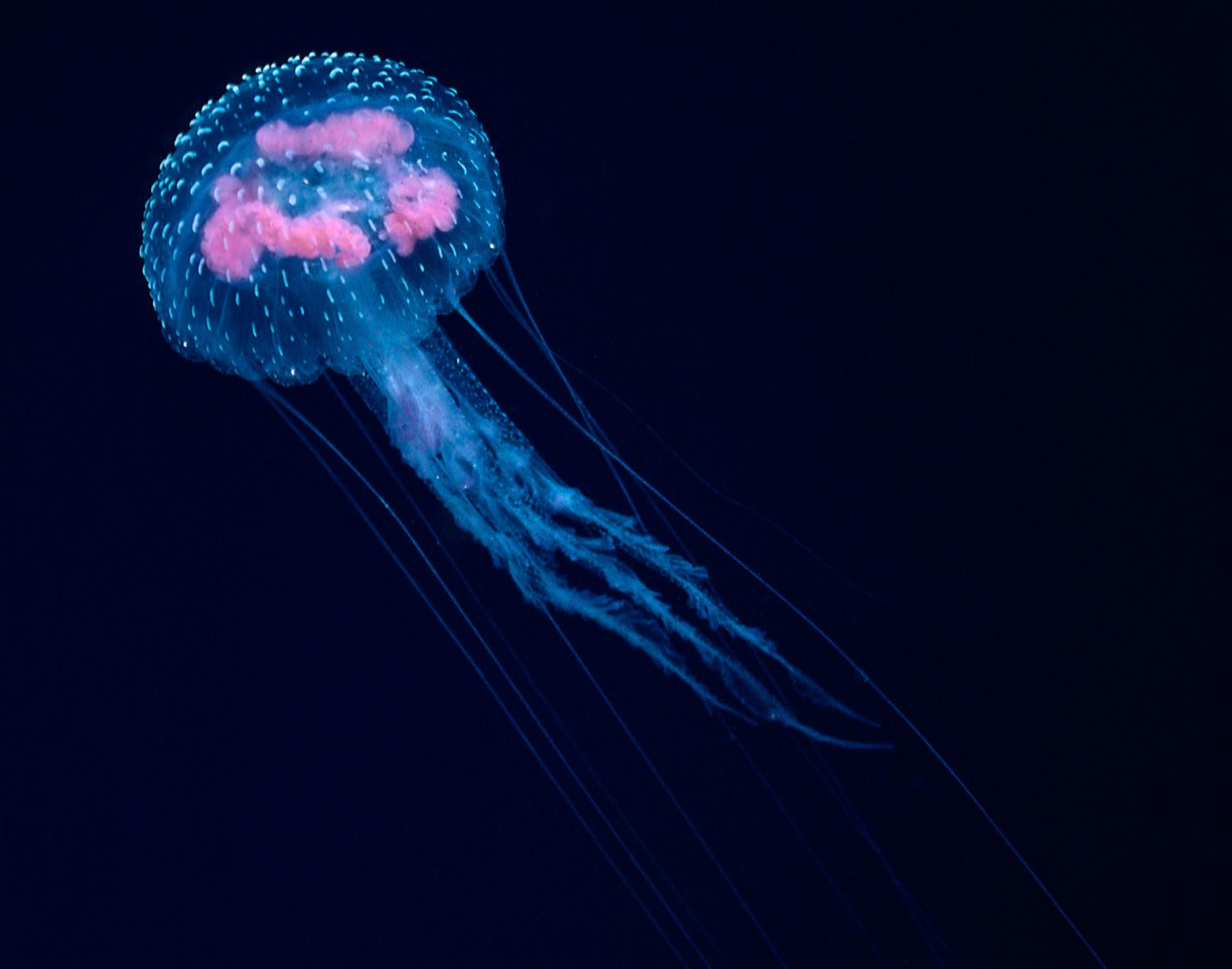 mauve-stinger-bioluminescence